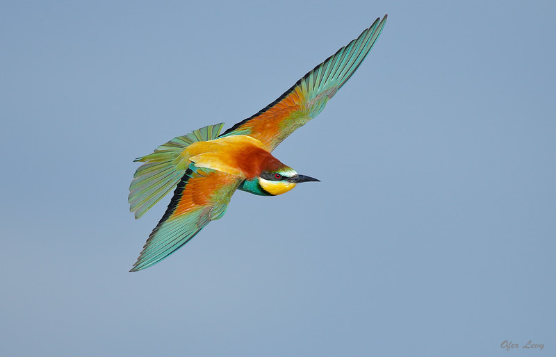 European Bee-eater 2.jpg
