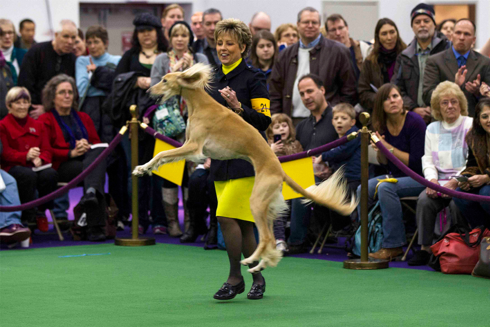 Description of . A handler celebrates after winning best of breed with a Saluki named Sandstorm Blue Nile Bubbles Of Jatara during the 137th Westminster Kennel Club Dog Show in New York, February 11, 2013. More than 2,700 prized dogs will be on display at the annual canine competition. Two new breeds, the Russell terrier and the Treeing Walker coonhound, will be introduced in the contest. REUTERS/Lucas Jackson