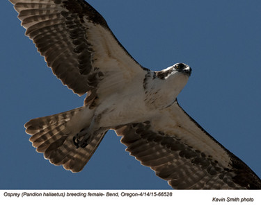 Osprey F66528.jpg