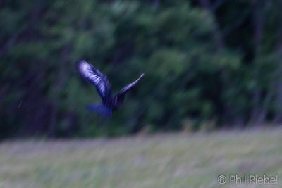 American Crow with White Feathers