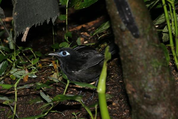 Birds of Ecuador by Species