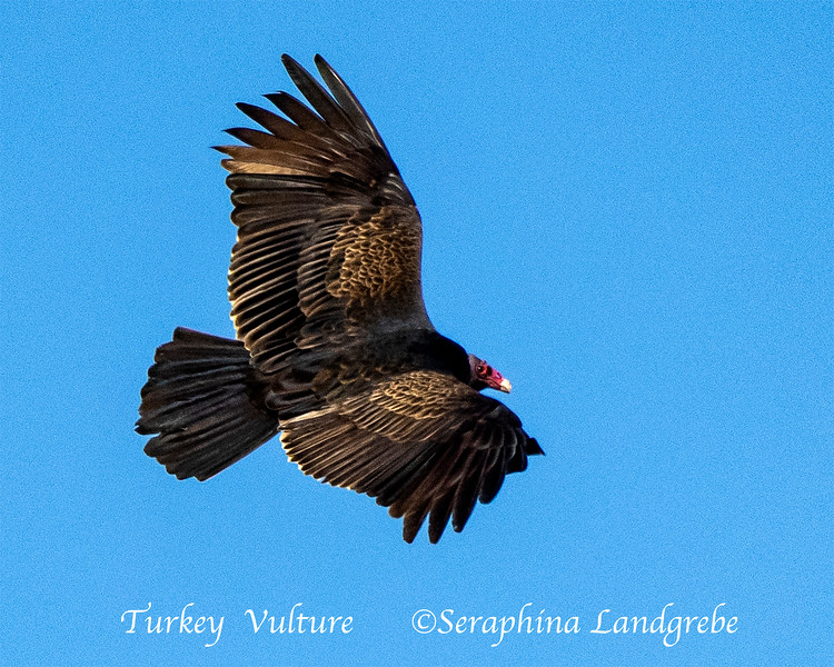 _DSC5472Turkey Vulture.jpg