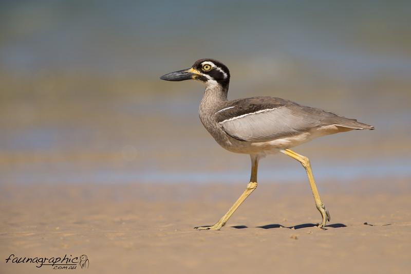 Beach-stone Curlew