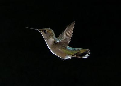 My Backyard Hummingbirds