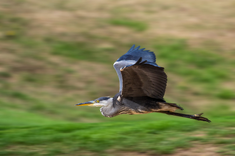 Heron Flying.jpg