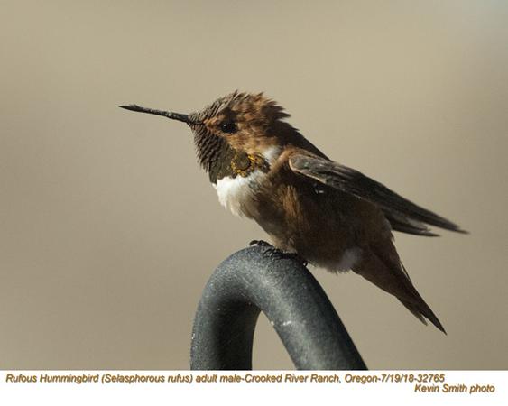 Rufous Hummingbird M32765.jpg