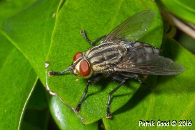 Grey-striped Fly