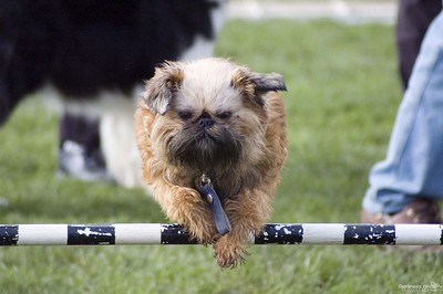 Dog Agility, Griffon, Sept. 2005