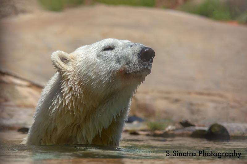 polar bear (31 of 50).jpg