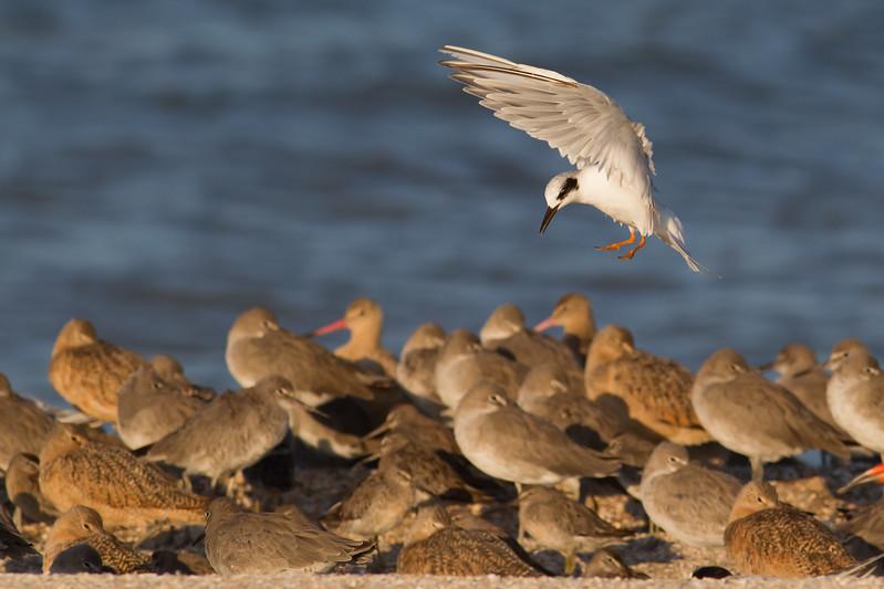 Forster's Tern landing - Foster City, CA, USA