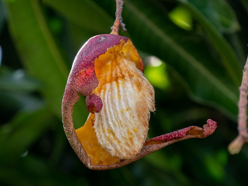 squirrel-eaten mango