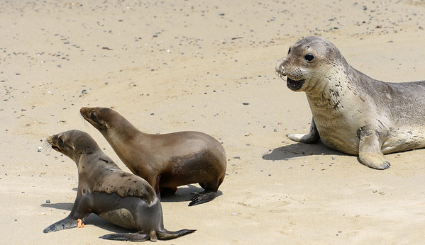 . An elephant seal approaches newly released California sea lions at Chimney Rock in West Marin near Inverness, Calif. on Thursday, May 10, 2018. The juvenile sea lions were rehabilitated back to healt by the Marine Mammal Center in Sausalito. (Alan Dep/Marin Independent Journal)