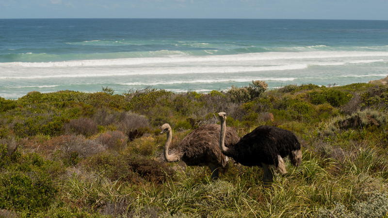 Ostrich, Struthio camelus. Cape Good Hope, South Africa.