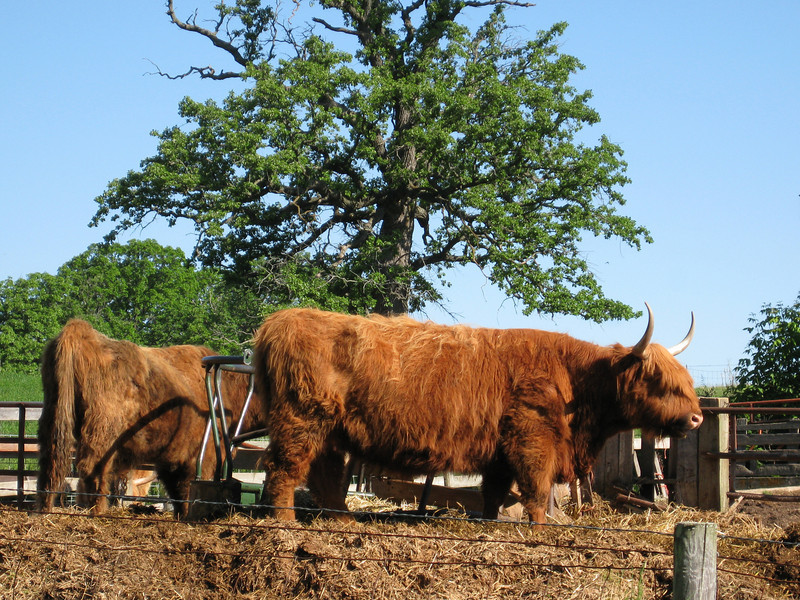 West Highland Cattle? That's our guess, and we're too lazy to look it up.