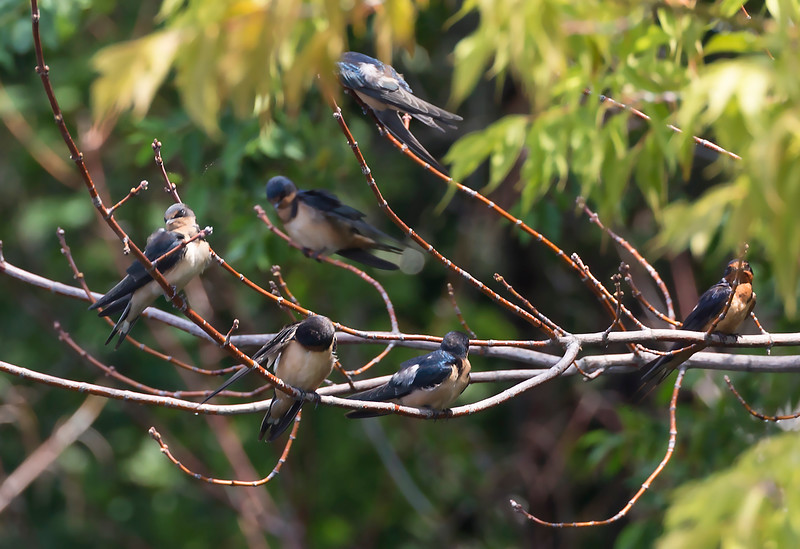 A cluster of six Barn Swallows next to our Holland moorage