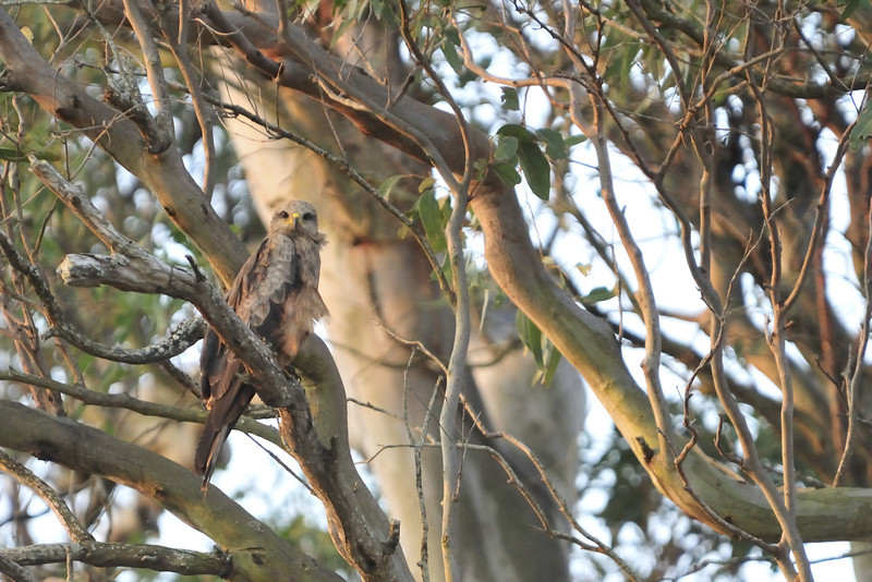 A relatively common species, the Black Kite (Milvus migrans) watching us go by from his perch in a eucalypt.