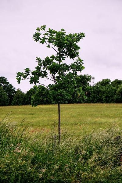 Cannon Hill Common - Oak Tree Sapling