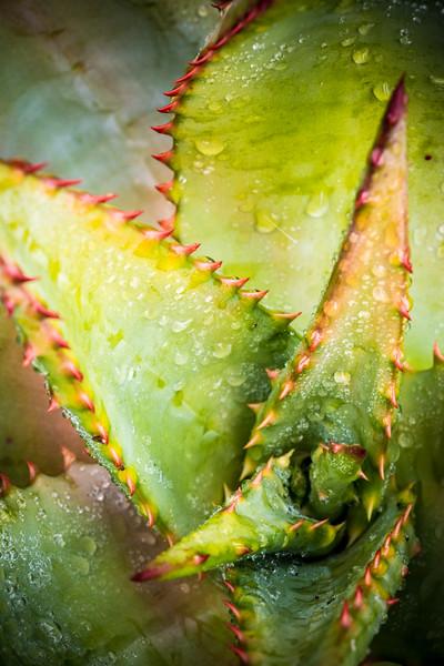Aloe ferox DSC_2133.jpg
