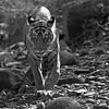 Wild tiger in his natural dry deciduous habitat in Ranthambore tiger reserve, India