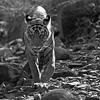 Wild tiger in his natural dry deciduous habitat in Ranthambore tiger reserve, India