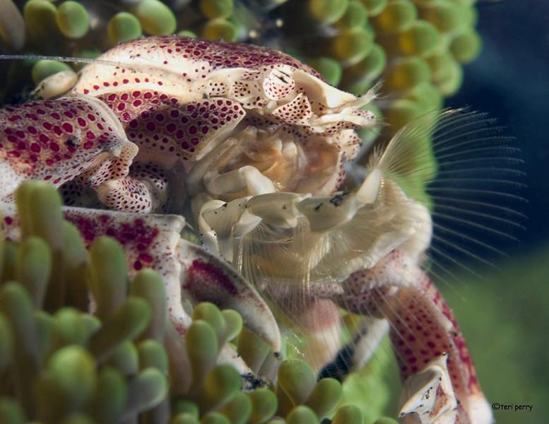 crab porcelain eating (2).jpg