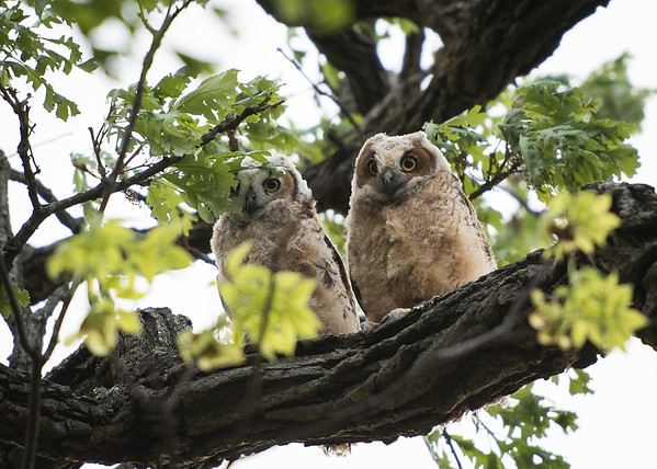 Baby Owls of HP