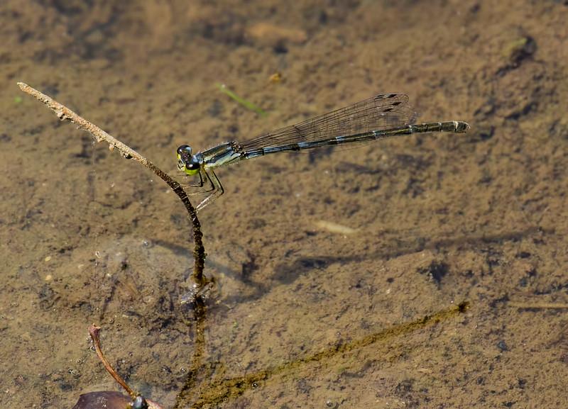 Female, Lum's Pond