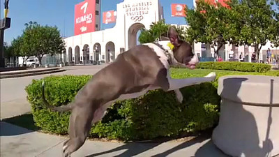 The Majestic American Pitbull Pablo  For slow connections iPhone