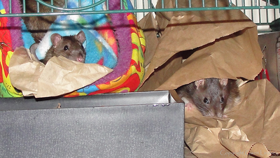 Old Lady Rat Lives with Young Boys