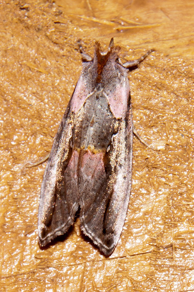 Looper - Pink-patched - (Eosphoropteryx thyatyroides) - Dunning Lake - Itasca County, MN