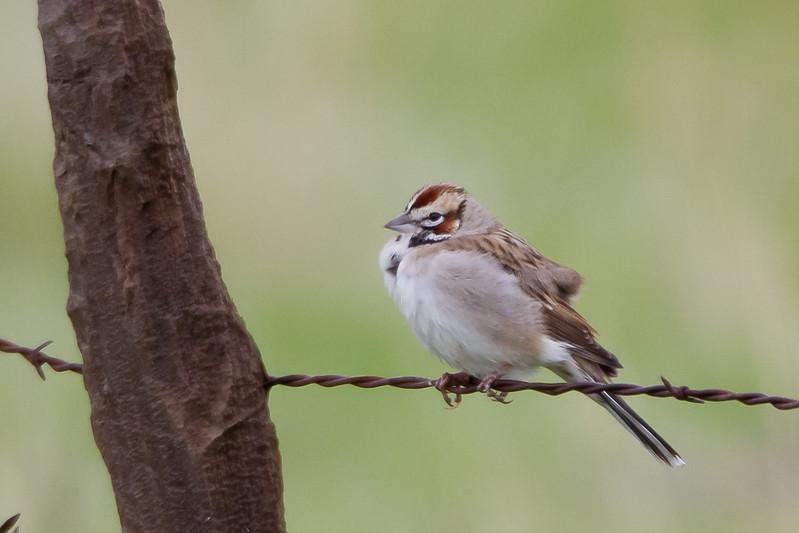 Lark Sparrow - Lifer - Panoche Valley, CA, USA