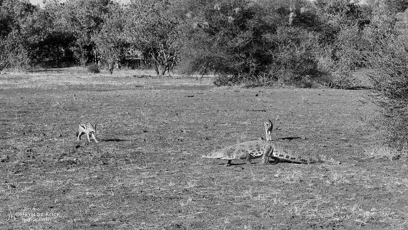 Black-backed Jackal & Nile Crocodile, b&w, Mashatu GR, Botwana, May 2017-2.jpg