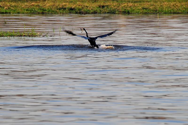 EPV0389 Snake Bird with Fish Taking Flight.jpg