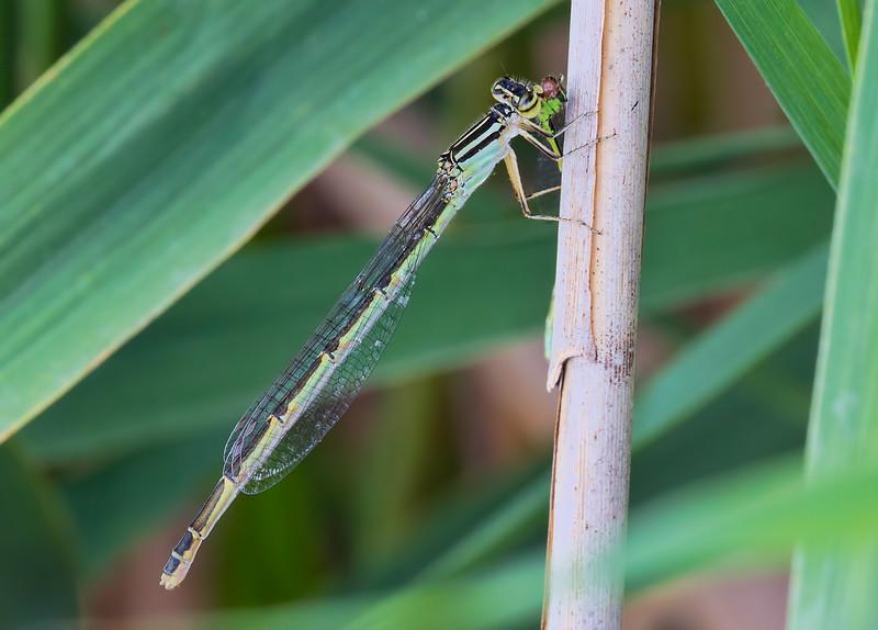 Big Bluet, Enallagma durum, female consuming Eastern Forktail, Lum's Pond, DE