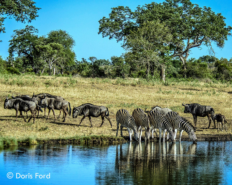 Zebras Wildebeests at Water holeadj_MDC.jpg