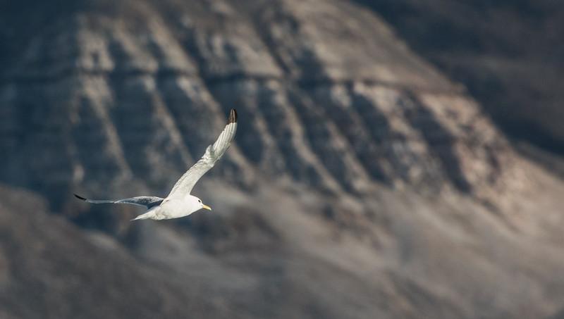 Kittiwake, Isfjorden