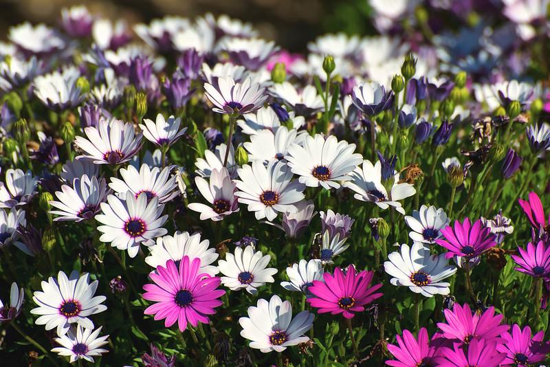 Verdala Spring Daisies_DSC9223 - Version 2.jpg