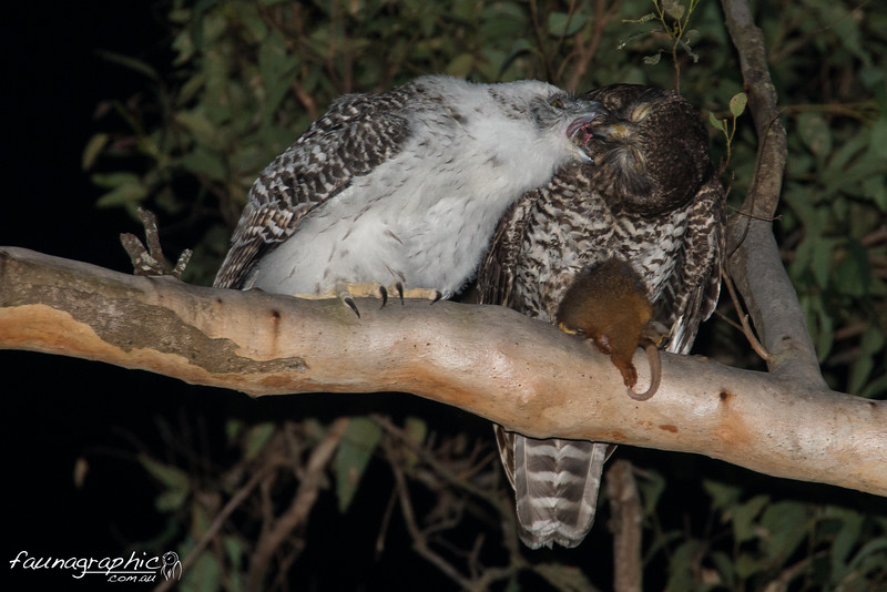 Fledgling Powerful Owl being fed by Adult