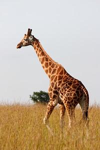 Giraffe at Murchison Falls National Park, Uganda
