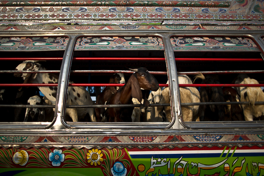 """. Goats look out of a bus window, while being transported to a near by livestock market, to be displayed for sale in preparation for the upcoming Muslim holiday of Eid al-Adha, or \""""Feast of Sacrifice\"""", on the outskirts of Islamabad, Pakistan, Thursday, Oct. 2, 2014. Muslims around the world will mark Eid al-Adha, as the biggest holiday of the Islamic calendar. It commemorates the willingness of the prophet Ibrahim _ or Abraham, as he is known in the Bible _ to sacrifice his son in accordance with God\'s will, though in the end God provides him a sheep to sacrifice instead. (AP Photo/Muhammed Muheisen)"""