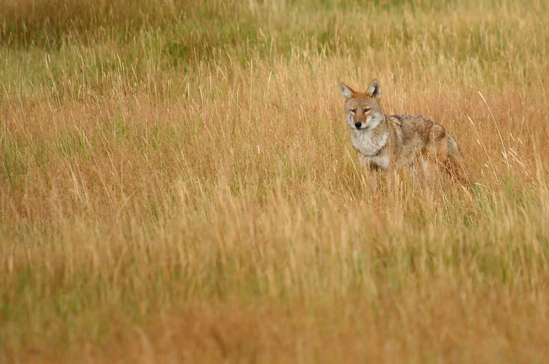 This coyote was searching the meadow for a meal