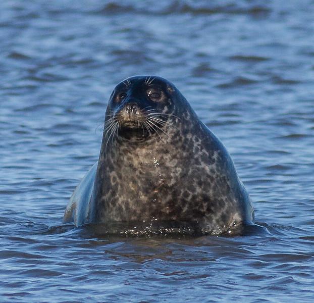Harbor Seal Cape Merry Hudson Bay Churchill Manitoba Canada IMG_0636.jpg