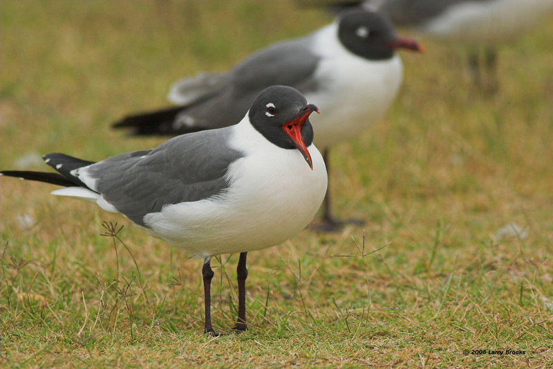 A Laughing Gull lives up to his name. Taken near St. Augustine