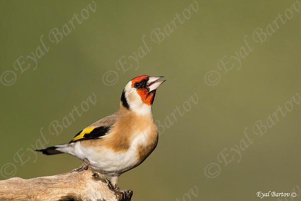 Goldfinch - חוחיות