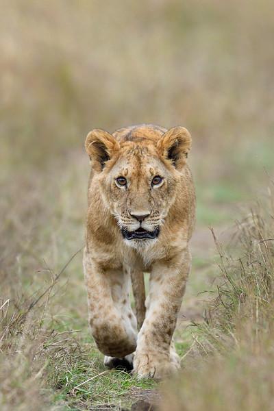 Curious-youngster-lion-masaimara-1.jpg