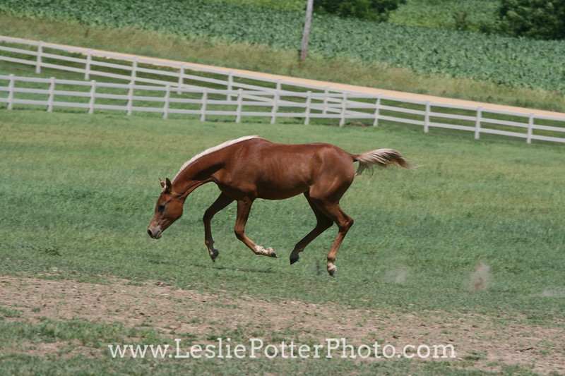 Yearling Arabian Horses Running in Field
