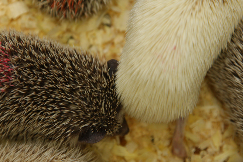 Hedgehog Babies (02/07/2010)  Some of the wonderful babies recently born at Hamor Hollow!  Filename reference: 20100207-013212-HAH-Hedgehog_Babies-SM