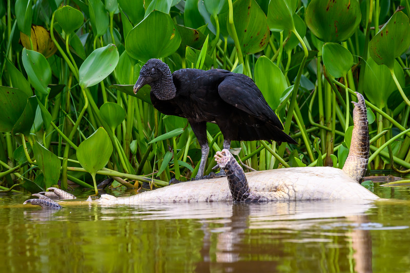 Black Vulture.jpg