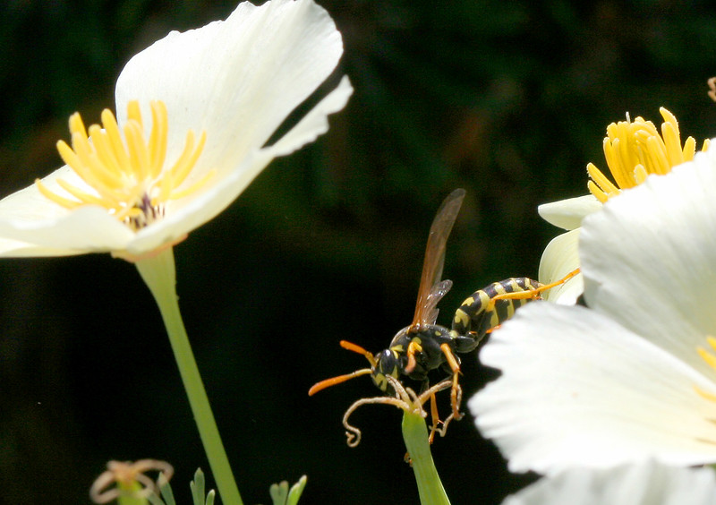2391 Wasp on Flowers.jpg