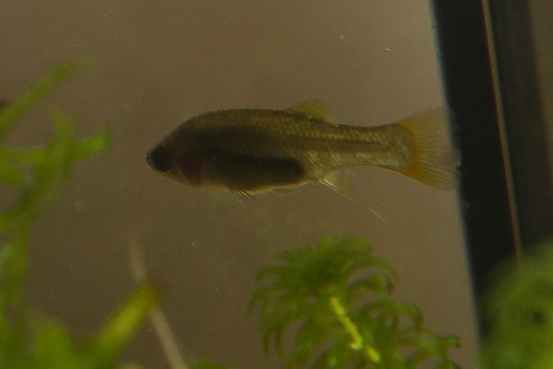 Female Xenotoca Doadrioi